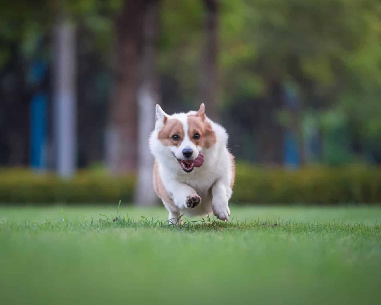Corgi with tongue out running